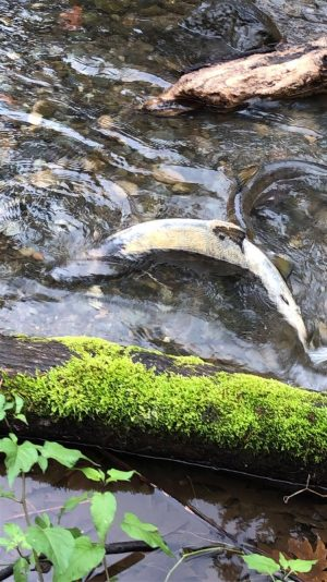 Female Chum salmon returning to Chico Creek to spawn in late Nov, 2019