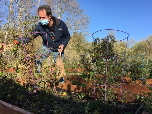 CKHS teacher and Enviro Club advisor Bill Wilson harvests produce at the CKHS garden to donate to the Central Kitsap Food Bank.
