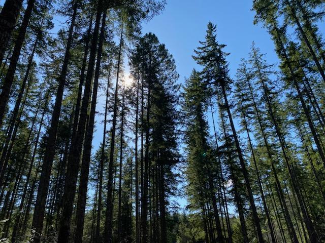 The sun shines through the trees on the Ueland Tree Farm trail.